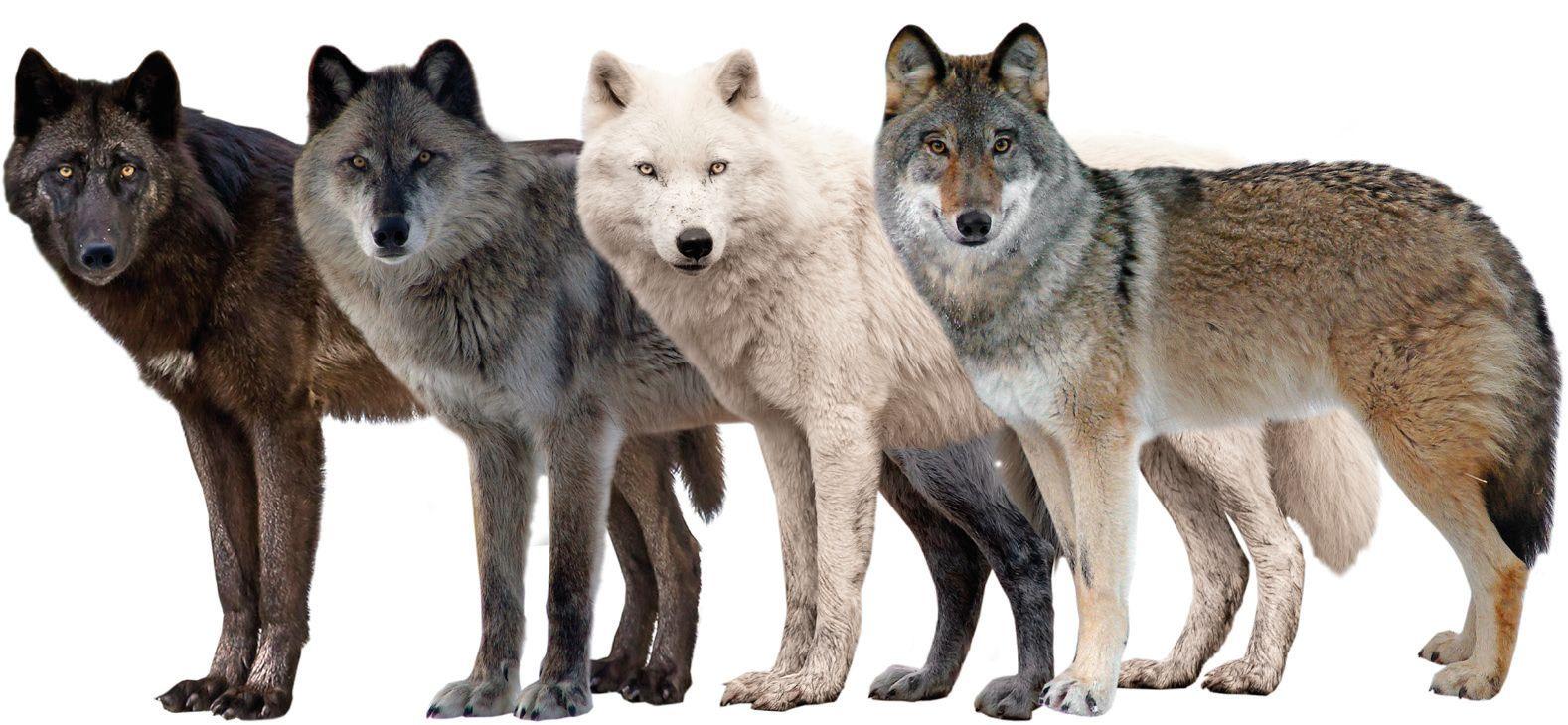 Variations in pelage color in Wolf.jpg