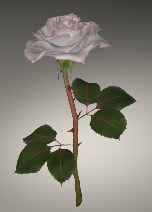 WHITE AND PINK ROSE.jpg