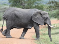 071002145110_mother_elephant_with_breast.jpg
