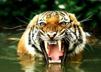 Bengal_Tiger_in_Water_600.jpg