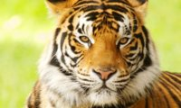 bengal-tiger-why-matter_7341043.jpg