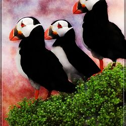 Puffins On A Cliff By Satira Capriccio
