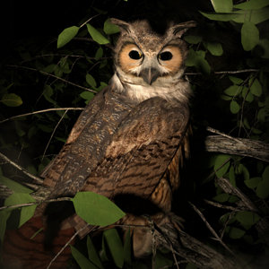Night Owl by Luannemarie.jpg